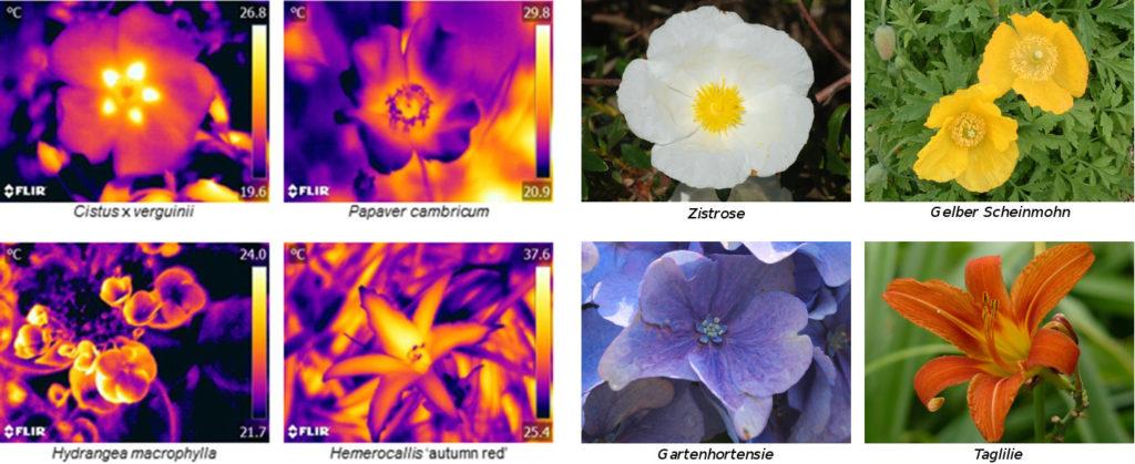 Bilder von vier Blüten in infrarotem und in sichtbarem Licht