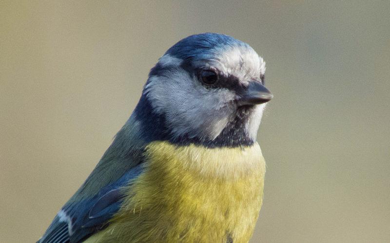 Blaumeise, aufgenommen im Süden Großbritanniens