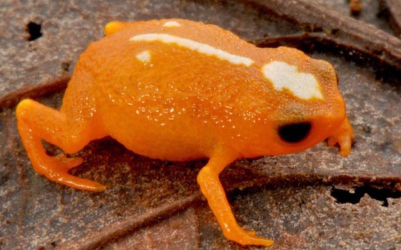 Foto eines Brachycephalus mirissimus