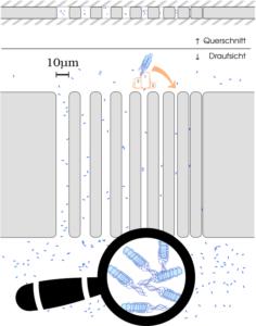 Schema des Versuchs zum Rennen der Bakterien