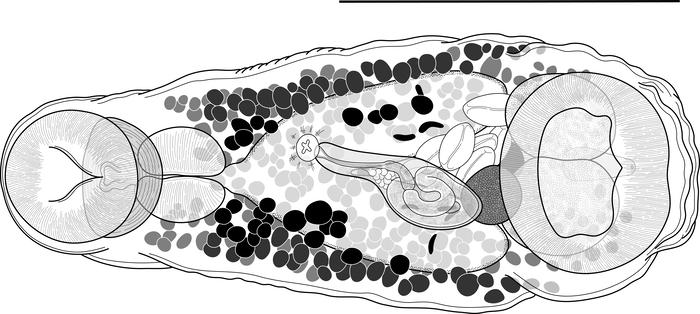 """""""Harter Typ""""-Wurm Parallelolebes virilis. Der schwarze Strich über dem Wurm ist 0.5mm lang."""
