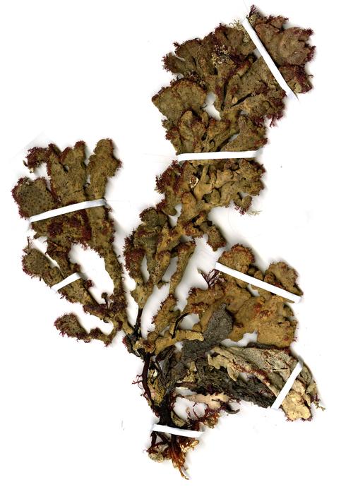 Schwamm liebende Rotalge Ptilophora spongiophila