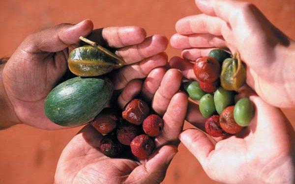 """Zwei Paare Hände halten Obst und Gemüse aus dem Australischen Busch, sogenanntes """"Bush Tucker"""""""
