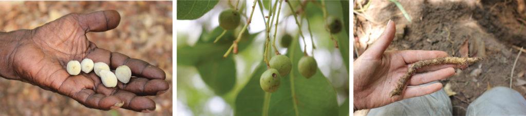 Beispiele für pflanzliche Nahrung in Nordaustralien wie sie auch in Madjedbebe gefunden wurde.
