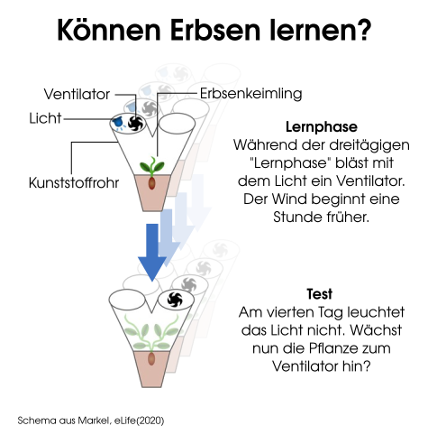 Aufbau des Experiments. Mit dem Ventilator sollen die Erbsen lernen, Wind- und kommende Lichtrichtung miteinander zu assoziieren.
