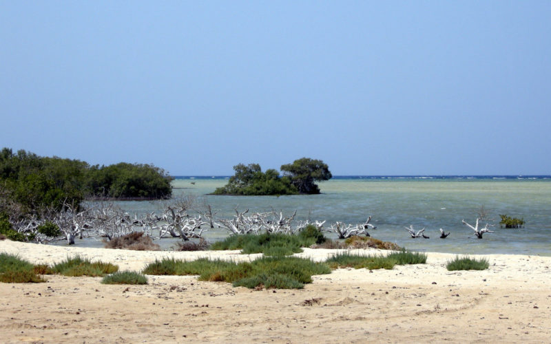 Mangroven am Roten Meer. Im Vordergrund Sandstrand, davor im seichten Wasser Lustwurzeln. Links stehen Mangrovenbäume.