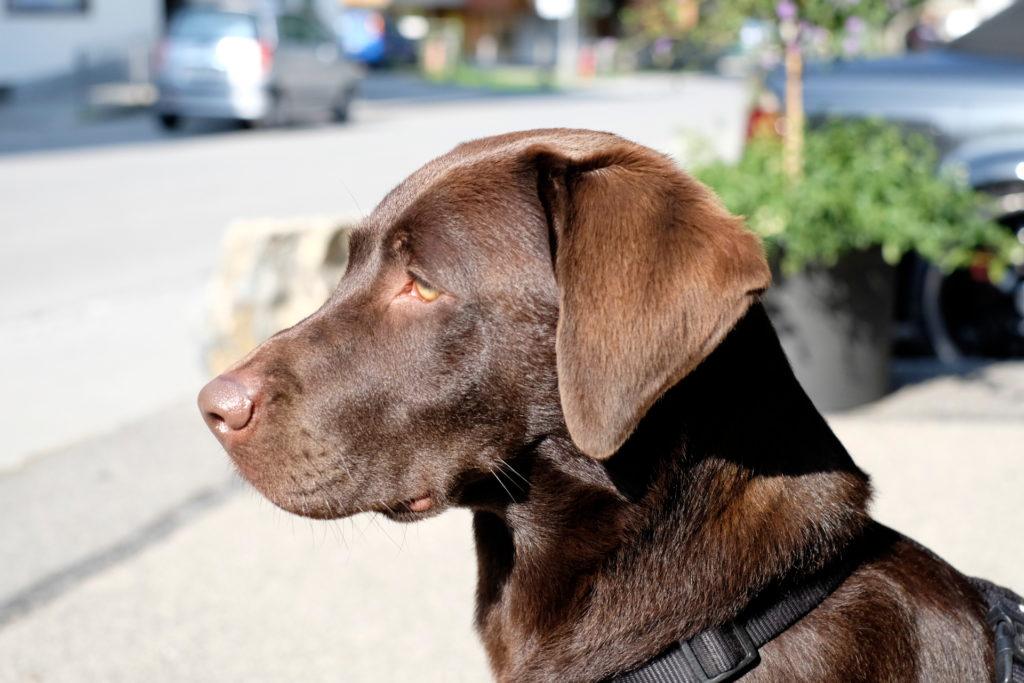 Labrador Sally ist nicht mit Parasiten der Leishmaniose infiziert und hat am Versuch auch nicht teilgenommen.