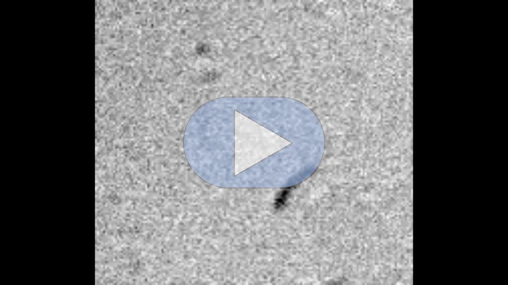 Mikroskopaufnahme in schwarz-weiß. Grippevirus ist ein schwarzer, bogenförmiger Strich auf grau verrauschtem Hintergrund. Im verlinkten Video wandert der Strivh von rechts unten nach links oben.
